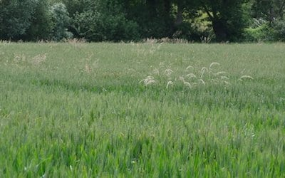 The tares stand out and above the wheat